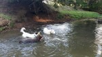 dogs swimming 1