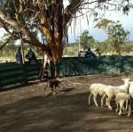 Rusty sheep 1